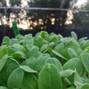 Borage_Microgreens
