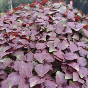 Shiso_Red_Microgreens