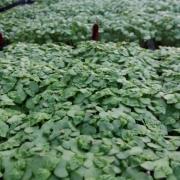 Shiso_green_Microgreens